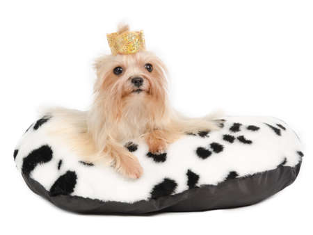 Royal Yorkshire Terrier on king cushion, isolated on white photo
