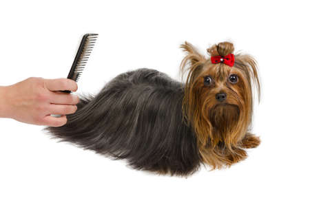 Grooming Yorkshire Terrier with a comb, isolated photo