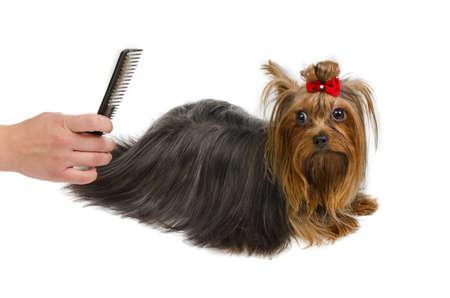 Toilettage Yorkshire Terrier avec un peigne, isolé
