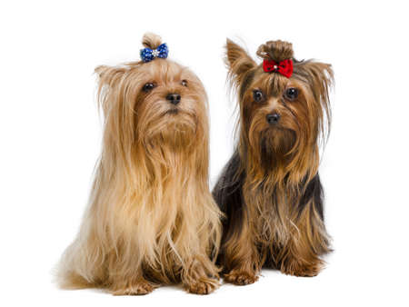 yorky: Portrait of two Yorkshire Terriers on white Stock Photo