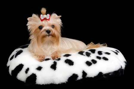 Yorkshire Terrier lying on cushion against black background Stock Photo