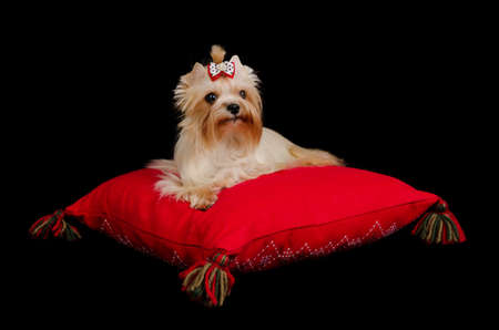 Golden Yorkshire Terrier lying on red cushion isolated on black photo