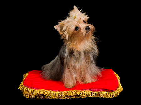 Yorkshire Terrier on red cushion, isolated on black photo
