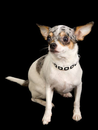 White Chihuahua dog on black background photo