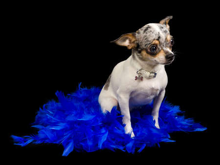 black boa: Chihuahua dog is sitting on blue feathers