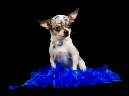 chiwawa: Chihuahua sitting in blue feathers against black background Stock Photo