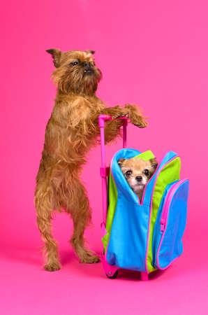 Dog travel, isolated on pink background photo
