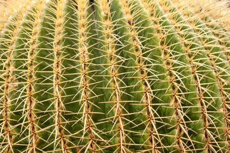 cacti: Close up of Golden Barrel Cactus
