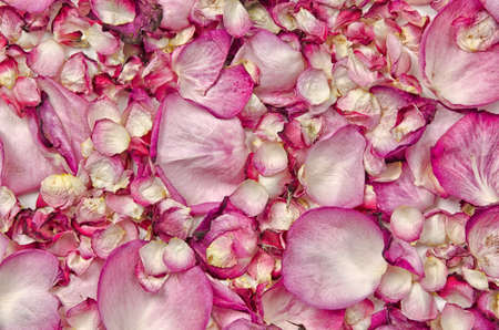 rosa: Pink rose petals background Stock Photo