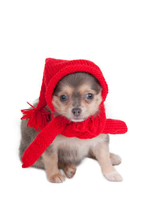 dwarfish: Chihuahua puppy with red hat and shawl