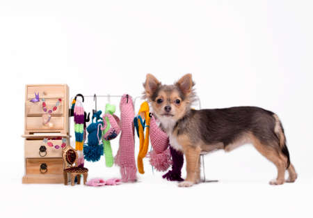 Tiny Chihuahua standing next to its cabinet and open wardrobe photo