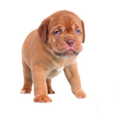 First steps of Dogue De Bordeaux puppy Standard-Bild