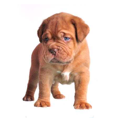 Cute brown puppy isolated photo