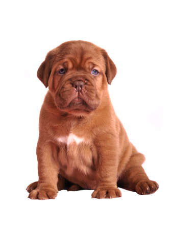 Dogue De Bordeaux puppy sitting, studio shot photo