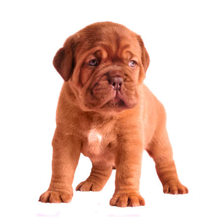 bordeaux mastiff: Adorable 1 month old puppy isolated