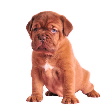 molosse: Wrinkled puppy sitting isolated Stock Photo