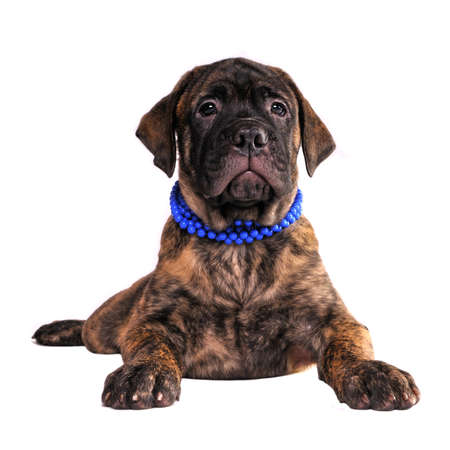 molosse: Bullmastiff puppy lying against white