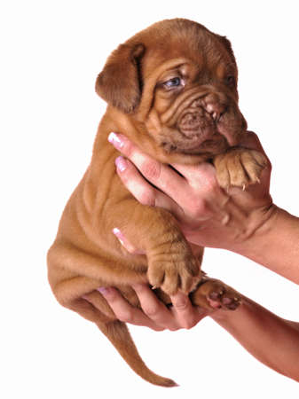 dogue de bordeaux: Dogue De Bordeaux puppy in the hands, isolated Stock Photo