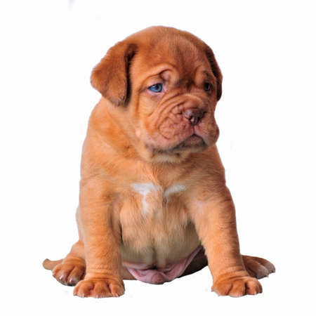 bordeaux mastiff: Cute puppy sitting isolated Stock Photo