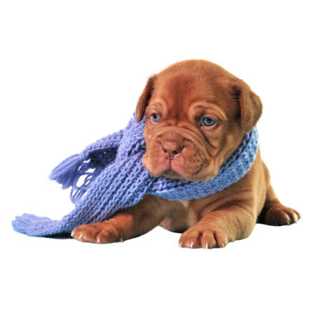 Puppy wearing scarf isolated photo