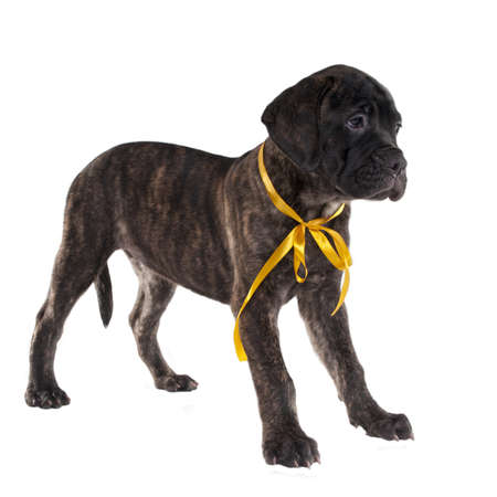 yellow ribbon: Brindled bullmastiff puppy standing isolated