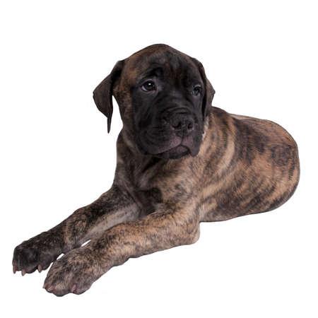 miss you: Sad bullmastiff puppy isolated Stock Photo