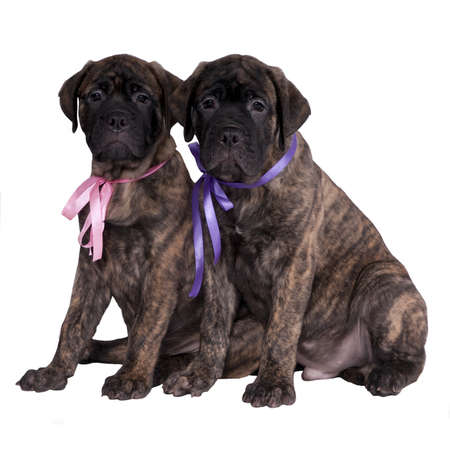 Two bullmastiff puppies isolated photo