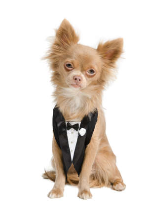 Chihuahua dressed like a groom in tuxedo photo