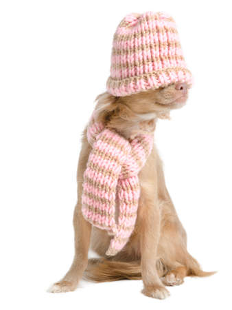 kidding: Chihuahua with hadmade hat over its eyes and scarf