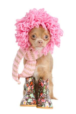 Drôle Chihuahua chiot avec perruque rose et une écharpe hadmade