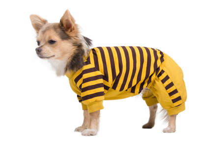 Chihuahua puppy dressed in yellow and black costume photo