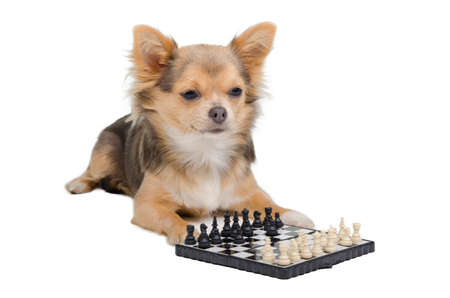 Chihuahua puppy is playing chess photo