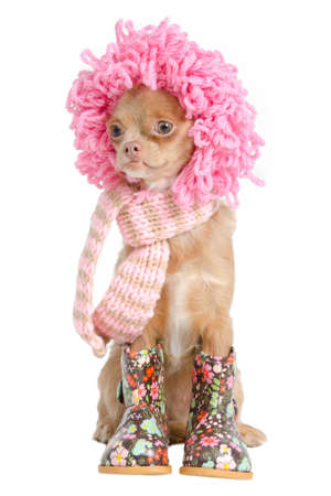 dwarfish: Chihuahua with wig, scarf anf boots ready for winter Stock Photo