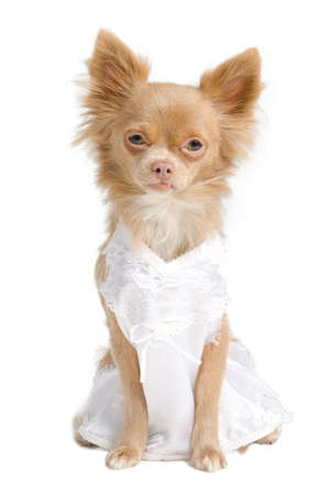 Chihuahua dog with brides dress with no veil photo