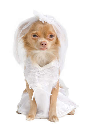 Chihuahua puppy dressed as bride in white, isolated photo