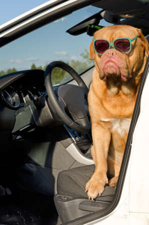 dogue de bordeaux: Dog driver with sunglasses sitting in the car