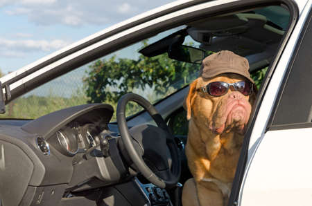 french mastiff: Dog driver with sunglasses and hat