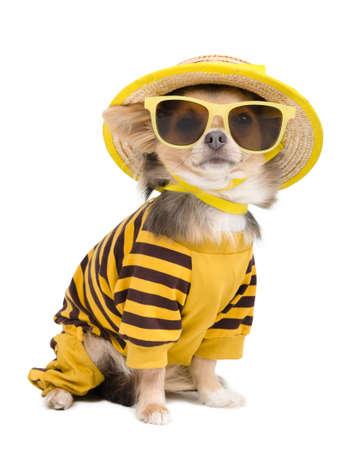 perros vestidos: Chihuahua, vestido con camiseta, sombrero de paja y gafas de sol Foto de archivo