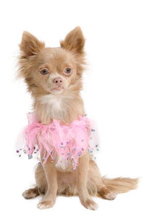 Chihuahua dressed in pink like a little princess photo