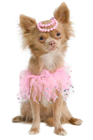 Elegant chihuahua bride with pink dress and pearls on its head photo