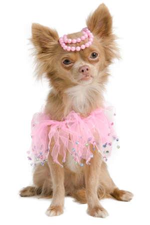 bitch: Elegante novia chihuahua con vestido de color rosa y perlas en la cabeza