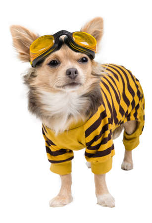 Chihuahua puppy dressed with suit and goggles isolated on white background
