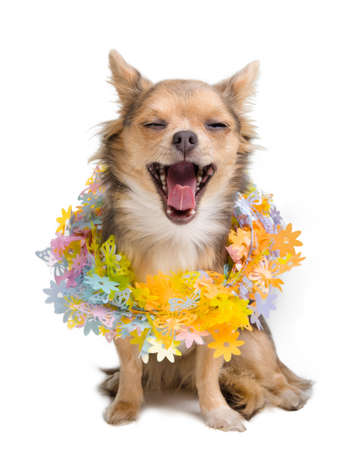 Yawning chihuahua puppy with flower garland arround its neck photo