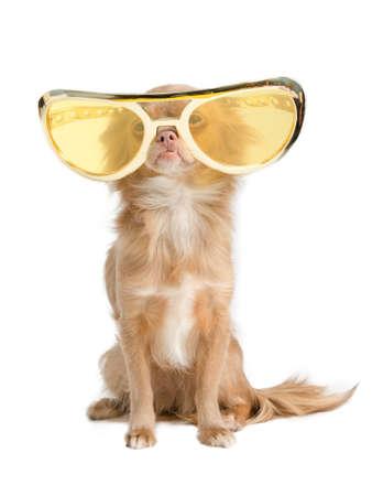 Minuscule chien chihuahua avec de drôles de lunettes énormes