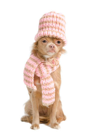 Adorable chihuahua with handmade hat and scarf photo