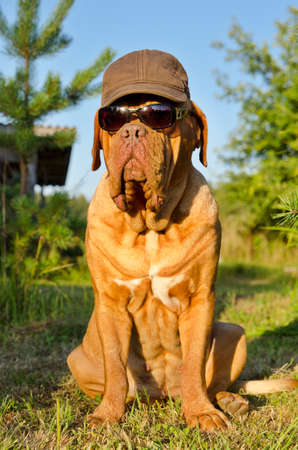 dogue de bordeaux: Dog with peaked cap and sunglasses sitting in the garden