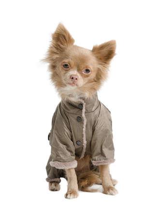 Tiny chihuahua with winter coat Stock Photo - 12615545