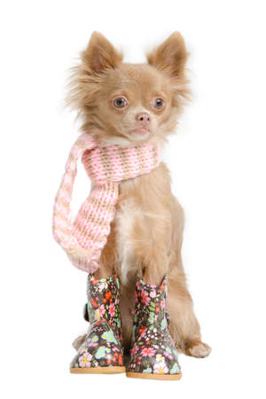 chiwawa: Chihuahua puppy with handmade scarf and boots