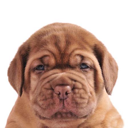 bordeaux mastiff: Dogue De Bordeaux puppy portrait