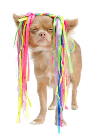 chiwawa: Chihuahua with eccentric hair style, against white Stock Photo
